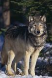 Gray Wolf by Trees Fotoprint van  DLILLC