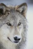 Gray Wolf Fotoprint av  DLILLC