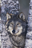 Gray Wolf Standing by Trees Fotoprint van  DLILLC