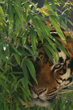 Tiger Sitting among Bamboo Leaves Reproduction photographique par  DLILLC