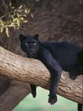 Black Panther Sitting on Tree Branch Fotografie-Druck von  DLILLC