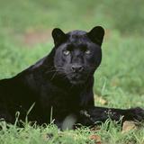 Black Panther Sitting in Grass Reproduction photographique par  DLILLC