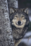 Gray Wolf Standing by Trees Fotoprint av  DLILLC