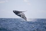 Humpback Whale Breaching from the Atlantic Ocean Fotografisk trykk av  DLILLC