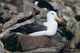 Black-Browed Albatross in Flight Reproduction photographique par  DLILLC