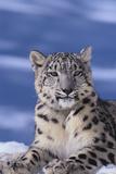 Léopard des neiges Reproduction photographique par  DLILLC
