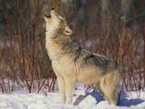 Gray Wolf Howling in Snow Fotografisk trykk av  DLILLC