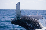 Humpback Whale Breaching from the Atlantic Ocean Lámina fotográfica por  DLILLC