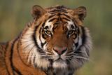 Bengal Tiger Fotografisk tryk af  DLILLC