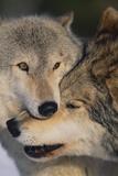 Gray Wolves Nuzzling Fotografisk tryk af  DLILLC