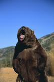 Grizzly Reproduction photographique par  DLILLC