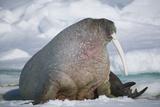 Walrus with a Broken Tusk Fotografisk tryk af  DLILLC