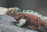 Marine Iguana Warming on a Rock Reproduction photographique par  DLILLC
