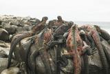 Marine Iguanas Piling atop a Rock Reproduction photographique par  DLILLC