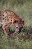 Spotted Hyena Feeding on Prey Lámina fotográfica por  DLILLC