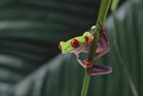 Agalychnis Callidryas Reproduction photographique par  DLILLC