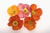 Poppy Photographic Print by  DLILLC