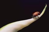 Lady Bug on Leaf Lámina fotográfica por  DLILLC