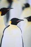 Emperor Penguins in the Snow Fotografie-Druck von  DLILLC
