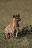 Spotted Hyena Lámina fotográfica por  DLILLC