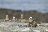Marine Iguanas Relaxing on a Rock Reproduction photographique par  DLILLC