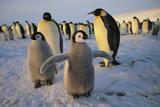Emperor Penguins and Young Fotografie-Druck von  DLILLC