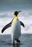 King Penguin Fotografie-Druck von  DLILLC