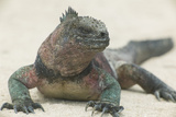 Marine Iguana in the Sand Reproduction photographique par  DLILLC