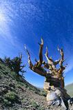 Bristlecone Pine Reproduction photographique par  DLILLC