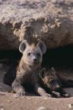 Young Spotted Hyenas Lámina fotográfica por  DLILLC