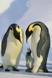 Emperor Penguins and Offspring Lámina fotográfica por  DLILLC