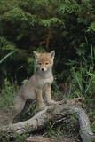 Coyote Pup Fotografie-Druck von  DLILLC