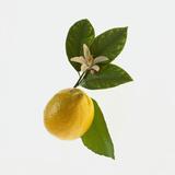 Lemon and Blossom Reproduction photographique par  DLILLC