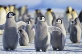 Emperor Penguins with Wings Outstretched Fotografisk tryk af  DLILLC