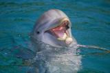 Bottle-Nosed Dolphin Reproduction photographique par  DLILLC