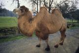 Bactrian Camel Impressão fotográfica por  DLILLC