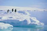 Adelie Penguins Fotografisk tryk af  DLILLC