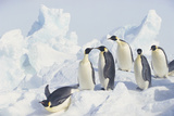 Emperor Penguins Sliding Downhill Photographic Print by  DLILLC