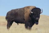 Bisontes y búfalos Lámina fotográfica por  DLILLC