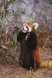 Red Panda Eating Bamboo Leaves Lámina fotográfica por  DLILLC