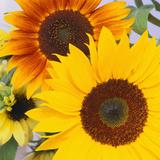 Sonnenblumen Fotografie-Druck von  DLILLC
