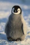 Baby Emperor Penguin Fotografisk tryk af  DLILLC