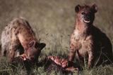 Spotted Hyenas Feeding on Carcass Lámina fotográfica por  DLILLC