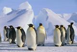 King Penguins Fotografie-Druck von  DLILLC