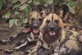 Perros salvajes Lámina fotográfica por  DLILLC