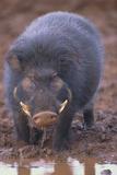 Giant Forest Wart Hog at Salt Lick Lámina fotográfica por  DLILLC