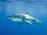 Großer weißer Hai Fotografie-Druck von  DLILLC