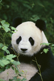Giant Panda in the Forest Reproduction photographique par  DLILLC