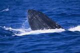 Humpback Whale Surfacing in the Ocean Fotografisk trykk av  DLILLC