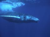 Humpback Whale Fotografisk trykk av  DLILLC